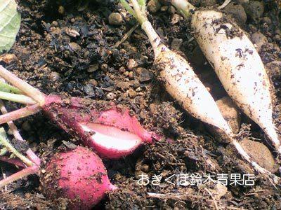 【荻窪農園#9】二十日大根の収穫と味見・・・こっこれは