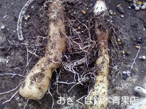 むかごで長芋を育ててみるの巻