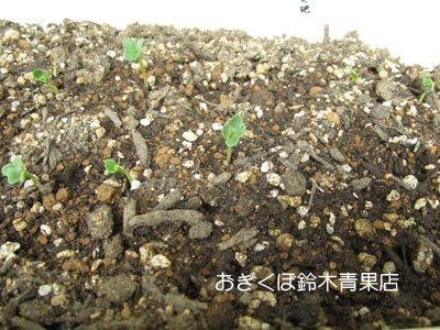 【荻窪農園#7】二十日大根は成長早っ!パセリは遅っ!