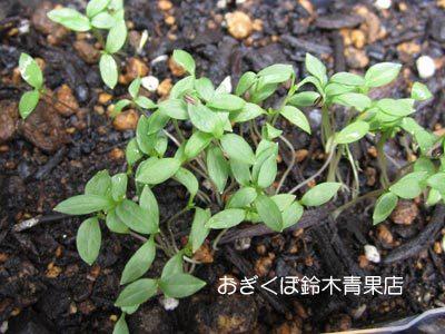 【荻窪農園#12】台風12号が去り、残ったキュウリは・・・。
