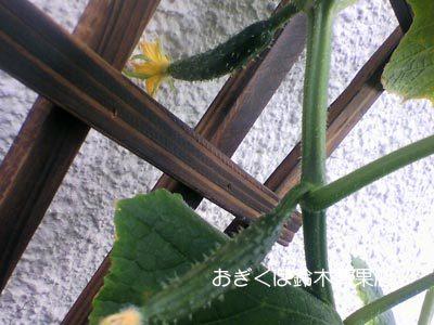 【荻窪農園#13】横から出て来てこんにちは。キュウリ日記復活の巻