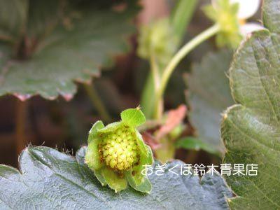 【荻窪農園#14】イチゴのソノゴ