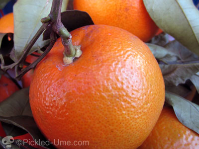 橙(だいだい)の果汁で風邪予防 – マーマレードも良いかも♪