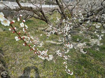 今年も開花時の低温が厄介な年でしょうか – 南高梅生育状況